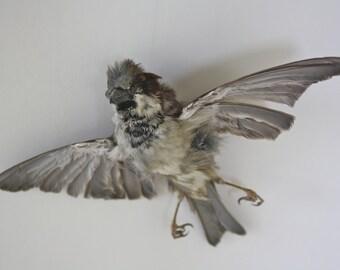 Taxidermy Flying sparrow