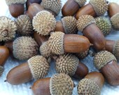 Winter , Fall Decoration, 25 Real small tiny acorns Wedding decorations,Thanksgiving, Holiday or Christmas Decoration