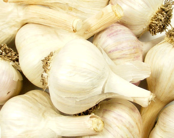 Music Garlic Bulbs Organic Grown Non-GMO Hard Neck Gourmet 1 Pound Porcelain Variety For Planting or Cooking Fall Shipping