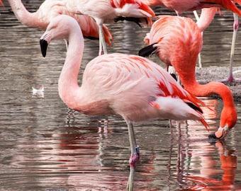 Flamingo Photograph, Print Wall Art, Pink, Animal Portrait, Home Decor, Nursery Decor, Fine Art Photography
