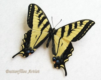 Western Tiger Swallowtail Papilio Rutulus Real Butterfly In Museum Quality Shadowbox