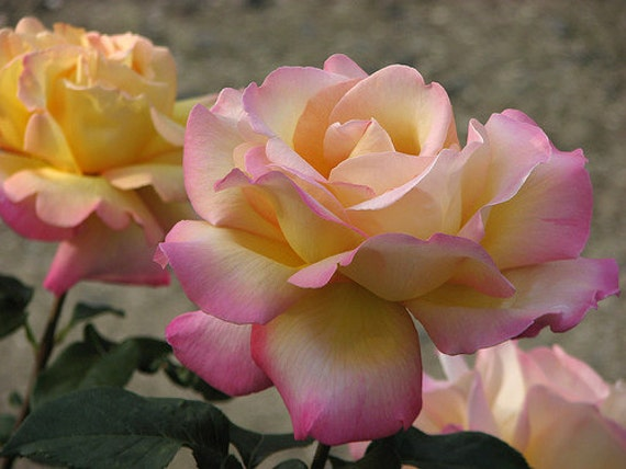 Rose Bush Hybrid Rose Tea Rose BushPlant Border