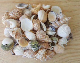 Sea Shell Mix-sea shells-color shells-beach-shell supply-nautical-ocean-wholesale shells-bulk shells-sea shells-beach decor