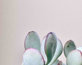 Succulent Photography Silver Dollar Jade - Pastel, Light Blue, Light Green, Minimalist, Home Decor, Wall Art, Fine Art Print