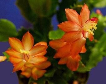 Christmas Cactus - ORANGE DRAGON BEAUTY - Easter Succulent - 5 Double Segments