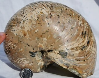 "7510 Whole WIDE BODY Ammonite Nautilus Nautiloid xxlarge Dino Fossil 152mm 6.0"" FREE Usa Shipping!!!!"