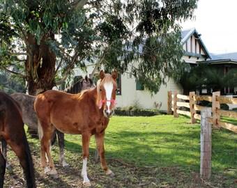 "Horses at the 'Pub in the Paddock'  TASMANIA  : 5""x7""  photograph"