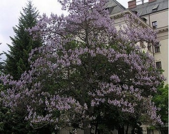Royal Paulownia Empress Tree- 25 Seeds