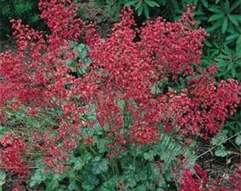 Coral Bells Varieties-Firefly, Palace Purple, Americana- 50 seeds each pack