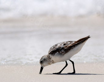 Sanderling Photograph // Beach Bird Print // Shorebird Picture // Beach Print