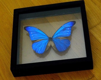 Real Morpho Cacica Male - Stunning! See-Through Frame -Taxidermy - Collectibles