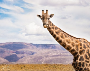 Giraffe Staring Contest in South Africa 8x10, 11x14, 16x20 photo print or canvas