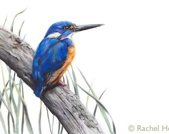 Wildlife Bird Art Print - Azure Kingfisher - Bird Art