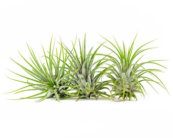 3 ionantha tillandsia airplants