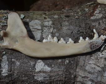 Coyote jaws, found natural object, jewelry making
