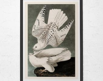 ANTIQUE DOVE PRINT- Vintage Ornithology Print - Antique Bird Poster, Professional Reproduction, Vintage Bird Print