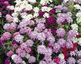 Candytuft Candy Cane Flower Seed Mix/ Iberis Umbellata/ Annual 50+