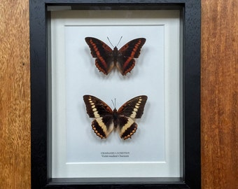 Violet-washed Male and Female Charaxes in Box Frame (Charaxes lucretius)