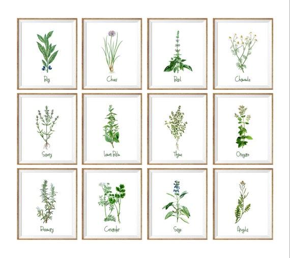 Kitchen Art Herbs: Botanical Art Print SET. 8x10 UNFRAMED. Kitchen Prints