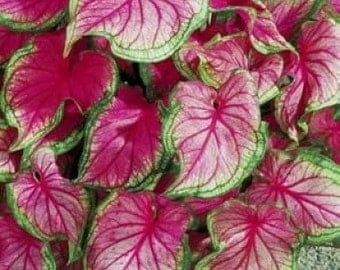 Caladium Bubls Florida Sweetheart
