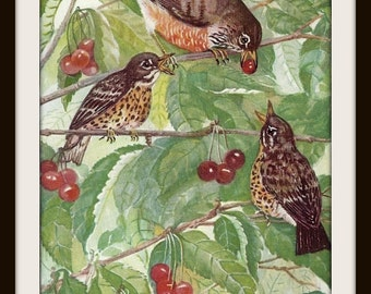 American Robin Book Print (1932): Frameable Wall Art, Bird Picture, Nature Illustration, Green Brown Red, Cherry Tree, Shabby Cottage Chic