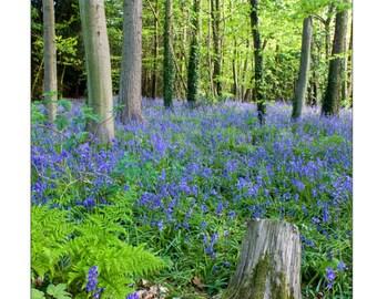 Bluebell Woods - A4 fine art print - 14 x 11 inch Mount - bluebells -  nature photography - flower photograph - woodland - floral photograph