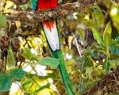 Color Photography - Nature - Wall Art - Decor - Quetzal