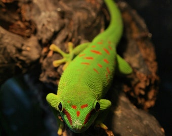 Madagascar Giant Day Gecko, Phelsuma grandis, Wildlife photography, Close up, Digital Download, Day gecko, lizard, herp, green lizard