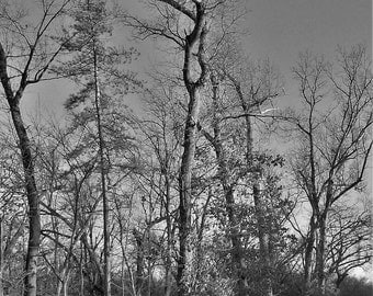 Landscape photo, Tall trees, Nature picture, Black white picture, 5x7 photo, Woodland photo, Nature photo, Photo gift, Cool birthday gift