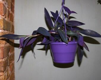 Tradescantia pallida (Purple Heart) House Plant 1Litre (12cms) Potted Plant