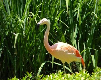 Sun Bathing Flamingo
