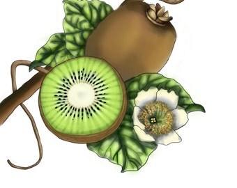Kiwi - Botanical Illustration