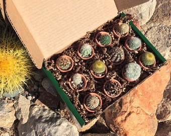 12 Mini Cacti Collection in Terracotta Pots from The Cactus Mart