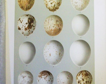1895 Smithsonian Bird Egg Print - Antique Lithograph With Great History   - Goshawk, Hawks  - 7a