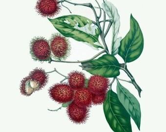 antique français Téléchargement illustration botanique impression litchi fruits tropicaux