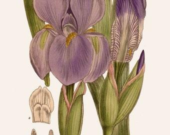 antique victorian botanical print lavender blue iris ornamental flower illustration digital download