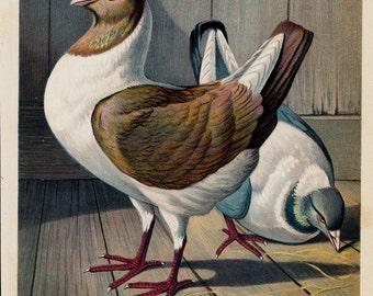1890 Antique print of PIGEON, FLORENTINE Pigeons, Original antique fine lithograph