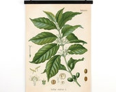 Coffee Pull Down Chart - Vintage Botanical Coffea Arabica Diagram Reproduction Print - Kohler's Botanical Medicinal Plant Guide -CP289cv