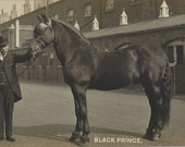Fit for a King - Antique 1910s Royal Coach Horse Silver Gelatin Print Real Photo Postcard