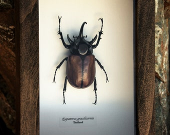 Real Framed 5 horned Rhino beetle from Thailand.