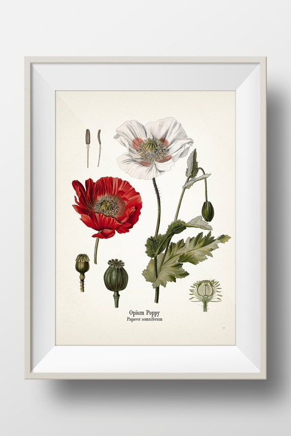 a study on opium poppy and its purposes It is mainly the archaeologist's spade which has brought forward a rich harvest of information on the opium poppy that proves its widespread use in the eastern.
