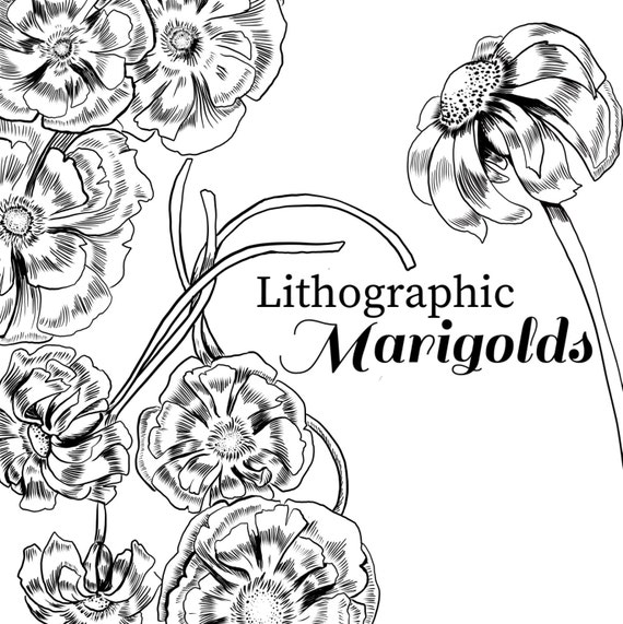ink drawing marigold, marigold clipart, black and white flower