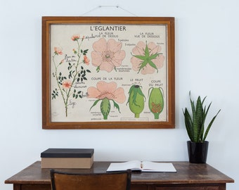 No. 15 & No.16 - Large Vintage double-sided French school poster - The Rosehip and The Pea