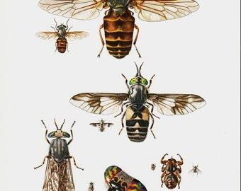 1961 Bee vintage print, flyes
