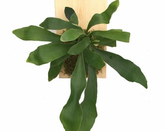 "Staghorn Fern Growing on Natural Wooden Plaque - Great Exotic Houseplant - 9"" x 5.5"""