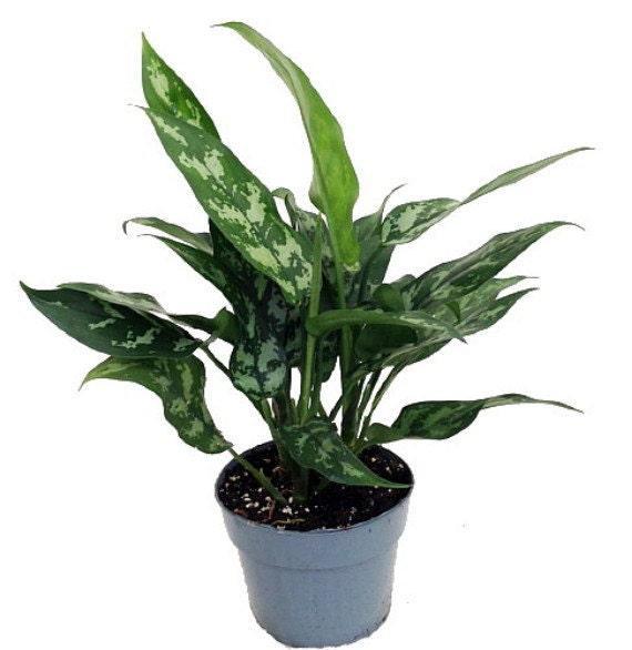 Maria Chinese Evergreen Plant Aglaonema Low Light