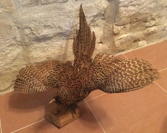 REDUCED French Antique / Vintage Taxidermied Hen Pheasant beautifully portrayed in semi flight