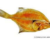 Flounder anatomy plastination print fish flatfish anatomical specimen 40x30 cm
