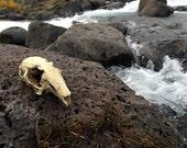 Resin Cast Rabbit Skull