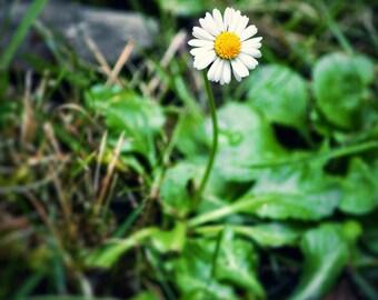 Daisy Print, Daisy Photo, Daisy, Daisy Picture, Yellow Daisy Print, Yellow Daisy Photo